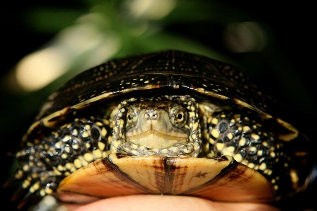 Clemmys guttata, želva tečkovaná