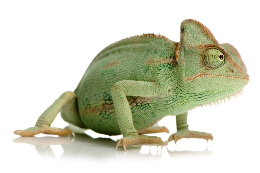 chamaeleo calyptratus, chameleon jemenský