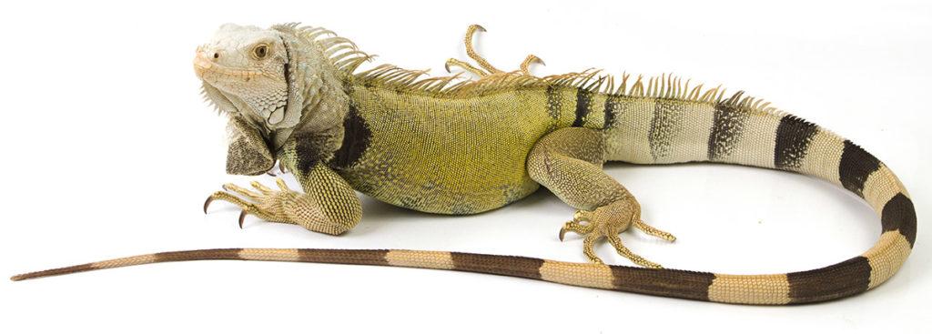 leguán zelený, iguana iguana