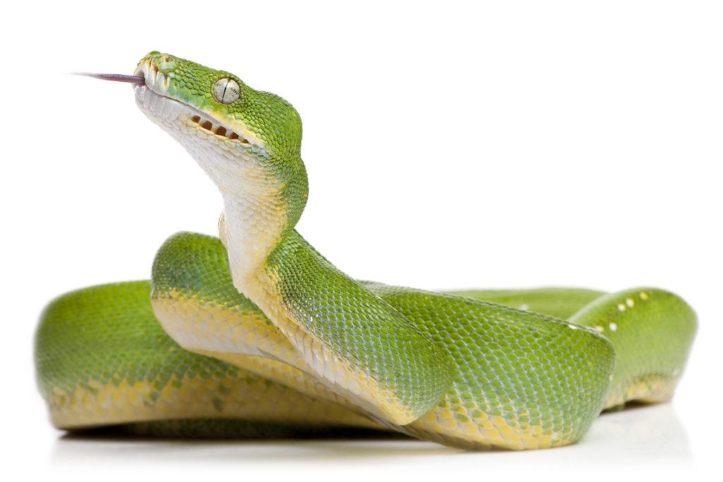 morelia viridis, krajta zelená