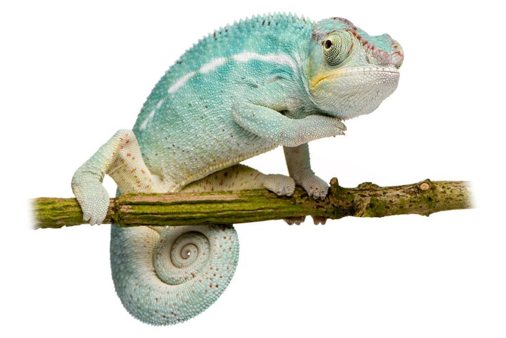 furcifer pardalis, chameleon pardálí