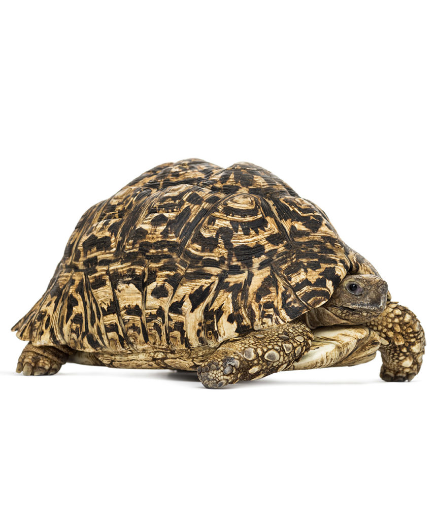 stigmochelys pardalis, želva pardálí