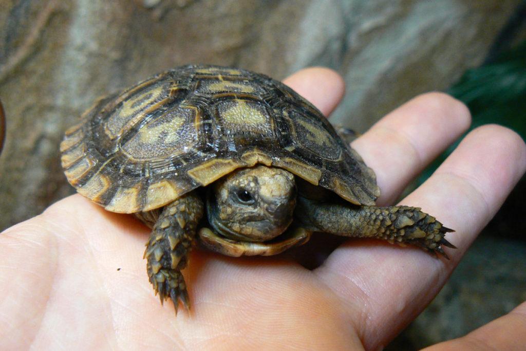 Malacochersus  tornieri, želva skalní